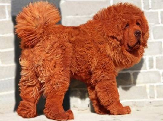 Most expensive dog: Red Tibetan Mastiff